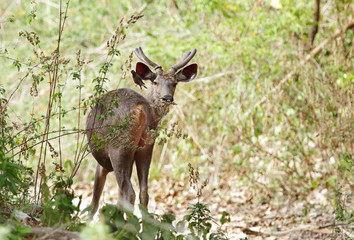 A beautiful male Sambar deer