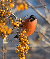 Bullfinch on the branch of Sea-buckthorn