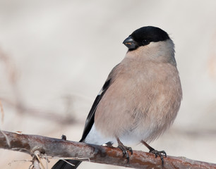 Female of Bullfinch