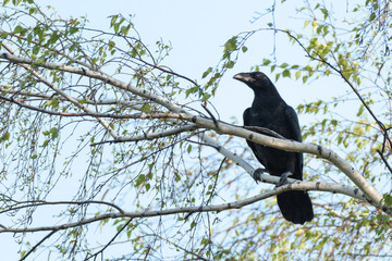 Corvus corax, Common Raven