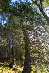 gebogener Baum im Wald