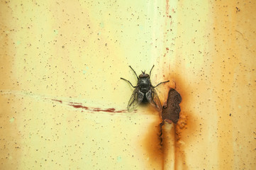 A fly insect on weathered grunge rusty painted metal surface