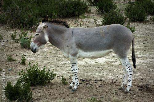 Foto Spatwand Ezel Ane sauvage d'Afrique