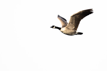 Canada Goose Flying Against a White Background