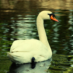 Swan, square toned image