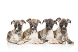 Whippet puppies - 73441765