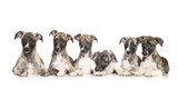 Whippet puppies - 73441780