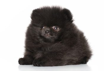 Young Spitz puppy