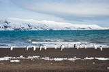 Gentoo penguin, Deception Island, Antarctica