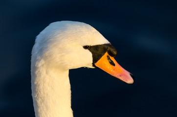 Swan head close up