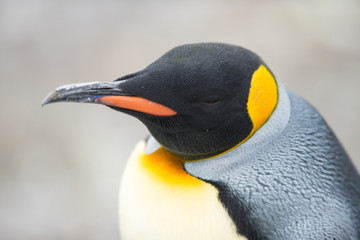 King Penguin, Antarctica