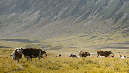 Cows in a sunny valley pasture