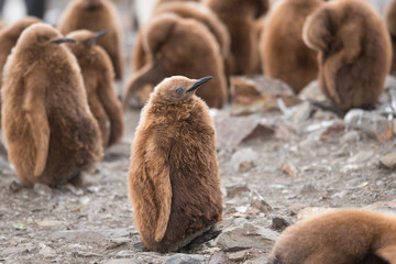 King penguin chick in South Georgia, Antarctica