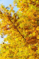 close up of colorful autumn Bald Cypress tree