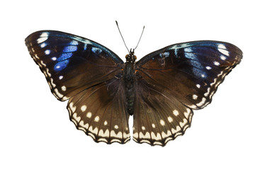 Top view of female great eggfly butterfly on white