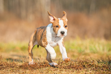 American staffordshire terrier puppy running in the yard