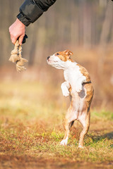American staffordshire terrier playing outdoors