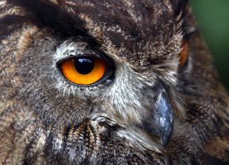 yellow eyes of an OWL at night hunting