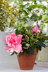 Blossoming pink azalea among other plants in a house greenhouse
