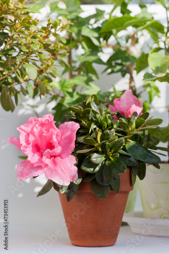 Papiers peints Azalea Blossoming pink azalea among other plants in a house greenhouse