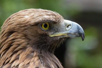 Golden Eagle Profle