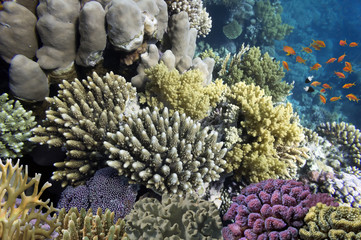 Hard corals and Tropical fish in the Red Sea