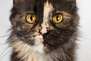Closeup brown tortoiseshell  Maine Coon cat looking in camera
