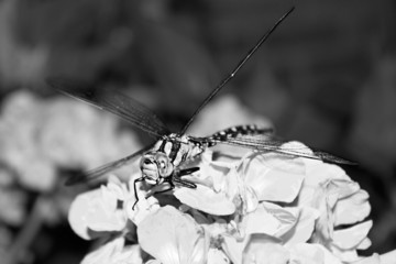Dragonfly on a flower in garden. Black and white