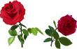 Obrazy na płótnie, fototapety, zdjęcia, fotoobrazy drukowane : two dark red isolated on white roses