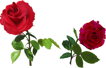 two dark red isolated on white roses