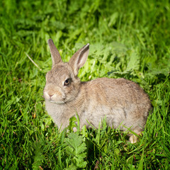 A young bunny rabbit looking through the green grass