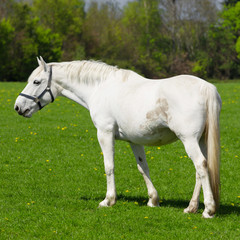 Arabian grey horse in a green field