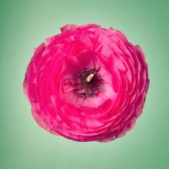 One pink ranunculus flower on a faint green background
