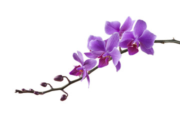 purple Dendrobium orchid on white background