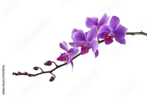 Fotobehang Orchidee purple Dendrobium orchid on white background