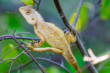 Oriental Garden Lizard waiting on a tree branch