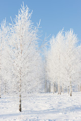 Birchwood in hoarfrost on a sunny winter day