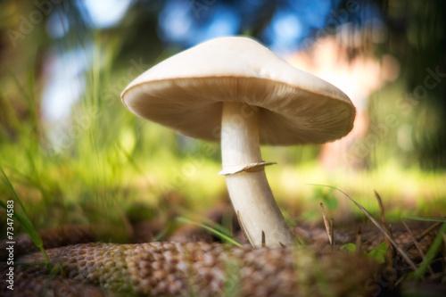 Fungo prataiolo bianco in un prato verde - 73474583