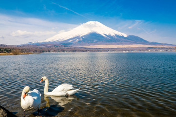 Swan by the  mount Fuji