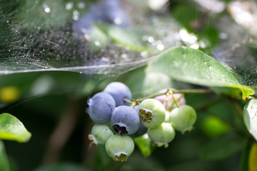 Bush blueberry in the web and the morning dew