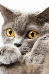 British shorthair cat on a white background