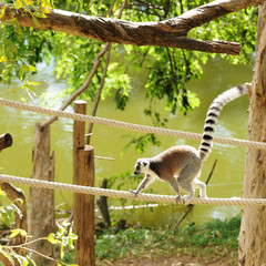 Lemur in open public zoo in Thailand.