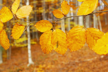 Autumn leafs in the forest