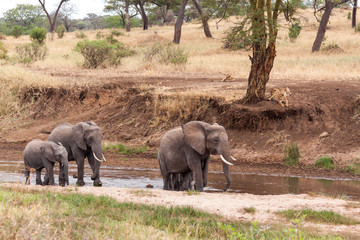 Elephants walking in the river while lions watching from the ban