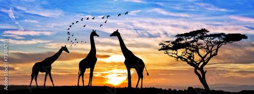 Keuken foto achterwand Giraffe safari por el atardecer de africa