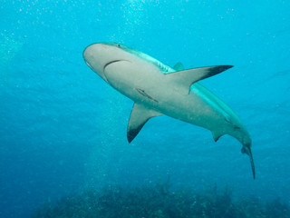 Caribbean reef sharks (Carcharhinus perezi) in a water