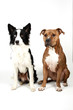 canvas print picture - American Staffordshire Terrier und Border Collie