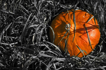 A Vibrant pumpkin in black-and-white grass.