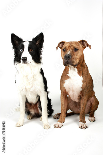 canvas print picture American Staffordshire Terrier und Border Collie