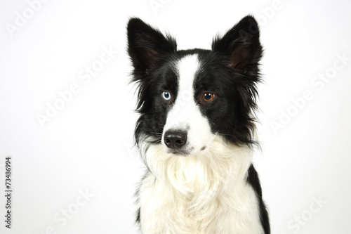 canvas print picture Border Collie